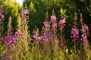 Цветы иван-чай